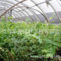 新蓝莓苗木1-2年