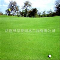 叶片纤细致密耐践踏生长低矮的剪股颖草坪种子(帕特)80/斤