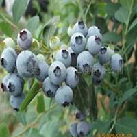 新品种紫荆种子