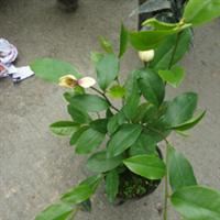 盆栽含笑花直销