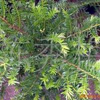 花农产地直销盆栽红豆杉