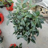 盆栽茶花,赤丹茶花,列香茶花,十八学士,美国茶花,花农直销