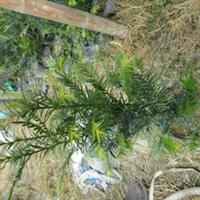 盆栽红豆杉花农产地直销