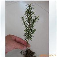 供应绿化苗木-红豆杉小苗-盆景