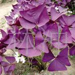 供应紫叶酢浆草