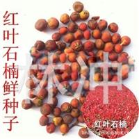 供应出售垂柳,红叶李,棣棠.月季