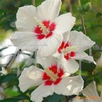 单瓣双色木槿-它还是保护环境的先锋