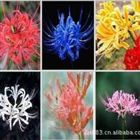 彼岸花种球~石蒜-花开富贵6个品种混色