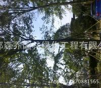 温江熟货朴树30-50公分大树
