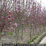 供应紫玉兰小苗价格,紫玉兰批发价格,绿化小苗价格