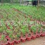 低价出售红豆杉小苗,净化空气吸收甲苯