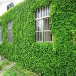 特价-攀缘植物//爬山虎苗墙的绿装爬墙高手原件4.5现价2元