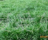 出售进口牧草种子多年生黑麦草种子营养价值丰富