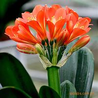 【居家办公盆栽花卉君子兰四季常青高贵有君子之风