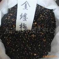 批发优质金缕梅种子保质保量