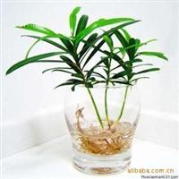 迷你小植物-防辐射净化空气吸收二氧化硫--日本罗汉松5元一株