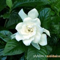 大量廉价供应各种规格玫瑰欲购从速