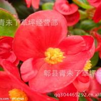 成都草花鲜花四季海棠