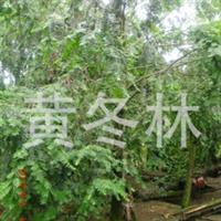 出售青城山独特的红豆杉绿化苗木8到12公分的