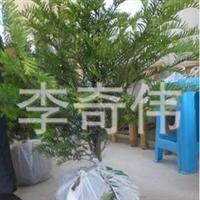 供应红豆杉.绿化苗木