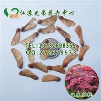 厂家批发日本红枫种子林木种子保证发芽