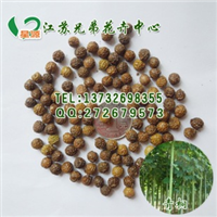 专业供应杨梅种子新采杨梅种子苗木种子杨梅树种子