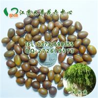林木树种子果树药材种子大皂角种子大皂荚种子包发芽