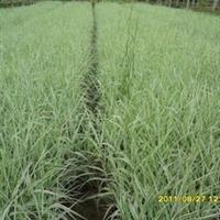 长期供应绿化草水生植物玉带草园林植物批发