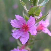 热销推荐湿地绿化水生植物千屈菜水枝柳水生花卉千屈菜
