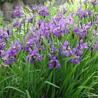 专业供应水生花卉玉婵花多年生草本植物植物花卉批发