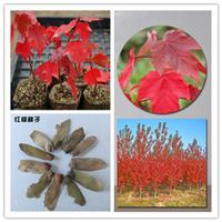 大量供应林木种子花卉苗木种子红枫种子园林绿化增值最快