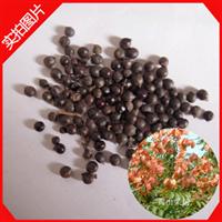 大量供应新采的林木树种,栾树种子,黄山栾树种子北京栾树种子