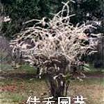 供应喷雪花、笑靥花、珍珠梅-喷雪花-花卉苗木-绿化