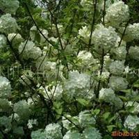 供应观花精品欧洲木本绣球1-10CM大小苗(图)