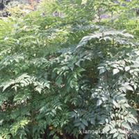 【精品苗木】栾树种苗优质绿化苗