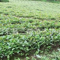 供应高成活率厚朴苗药材树苗一年生厚朴苗