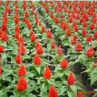 供应草花种子:鸡冠花种子当年新采保质保量支持货到付款