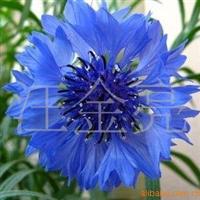 花种子欧洲矢车菊种子阳台盆栽正品彩包