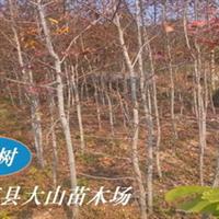 枫香,绿化苗木,造林种苗