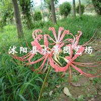 提供石蒜,彼岸花地被深夜草莓视频app下载水生植物