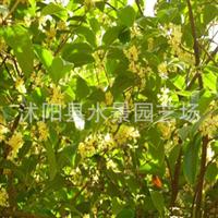 供应金叶过路黄金钱草金叶过路黄价格水生植物