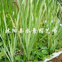供应各类水生植物花叶香蒲
