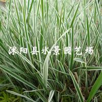 苏北园林花叶燕麦草