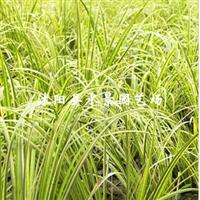 供应水生植物菖蒲(石菖蒲、水菖蒲、花叶菖蒲)