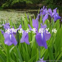 大量供应水生植物燕子花(别名:水蒲子花)