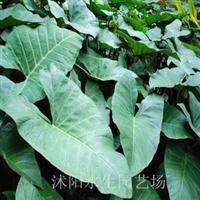 供应紫芋水生植物