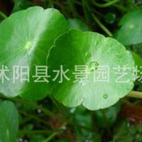 供应香菇草又叫金钱莲铜钱草
