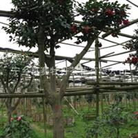 湖南最大茶花种植基地品种种六角大红色价格实惠品种繁多