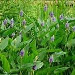 供水岸植物:梭鱼草