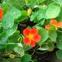 出售垂吊攀岩花卉旱金莲